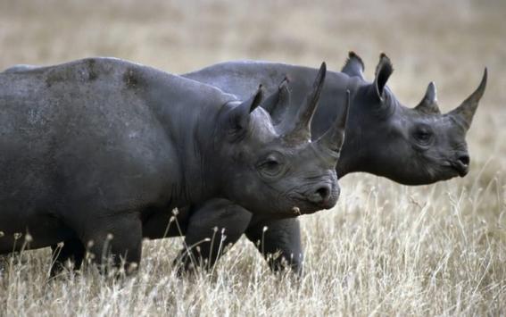mueren dos rinocerontes negros trasladados a parque en chad 2