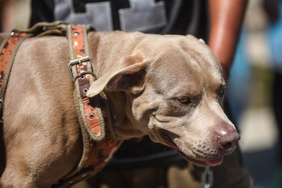 bolillo el perro hondureno de la caravana migrante 2
