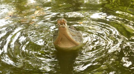 descubren nueva especie de cocodrilo en africa 1
