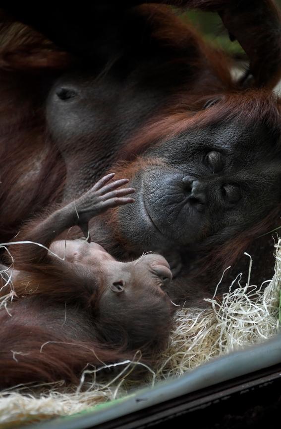 paris celebra el nacimiento del orangutan bebe java 1