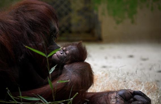 paris celebra el nacimiento del orangutan bebe java 2