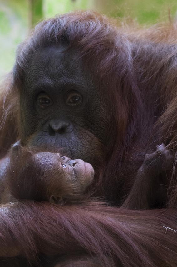 paris celebra el nacimiento del orangutan bebe java 3