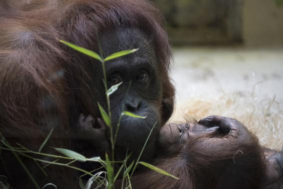 paris celebra el nacimiento del orangutan bebe java 4