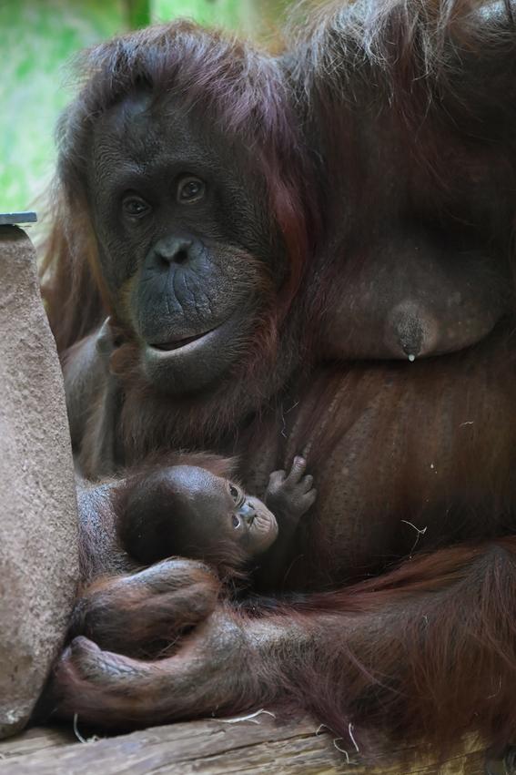 paris celebra el nacimiento del orangutan bebe java 5