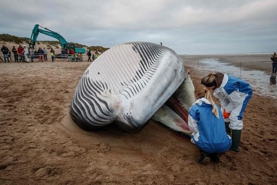 aparece una ballena muerta en la costa belga 2