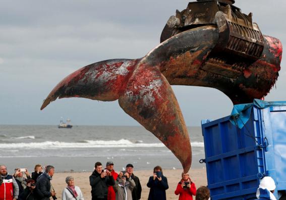 aparece una ballena muerta en la costa belga 3