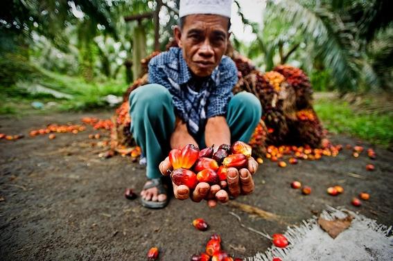 como el aceite de palma destruye los bosques tropicales 2