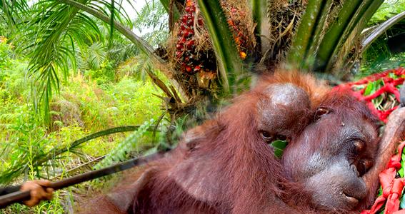 como el aceite de palma destruye los bosques tropicales 5