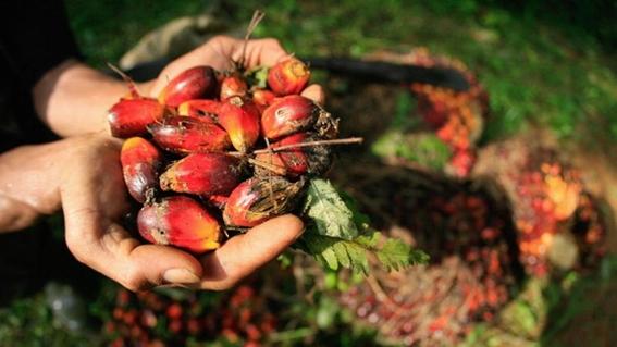 como el aceite de palma destruye los bosques tropicales 3