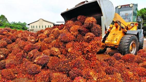 como el aceite de palma destruye los bosques tropicales 4