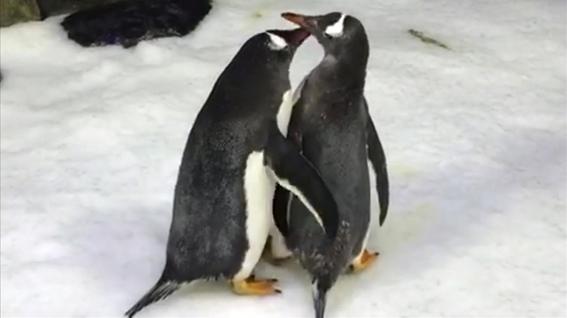 pareja de pingüinos macho se comporta como padres incubar huevo 1