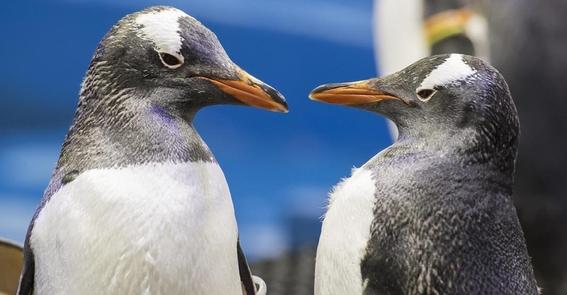 pareja de pingüinos macho se comporta como padres incubar huevo 4