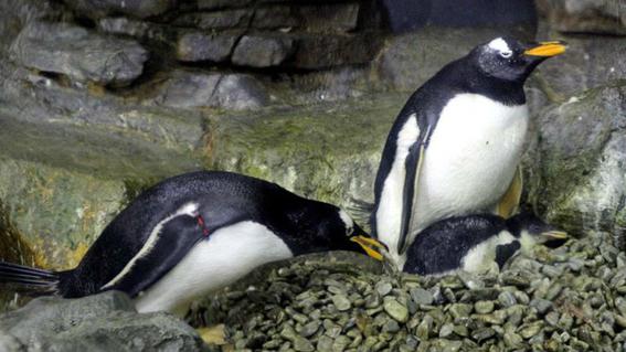 pareja de pingüinos macho se comporta como padres incubar huevo 2