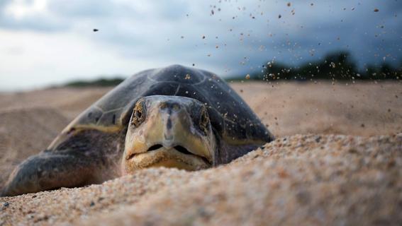 liberan crias de tortuga golfina y mamiferos silvestres en guerrero 4