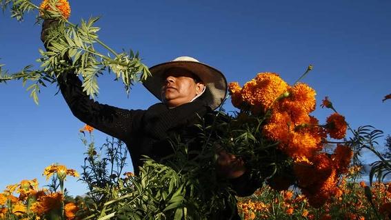 floricultores mexiquenses de flor de cempasuchil 1