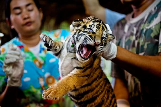 china revierte prohibicion de legalizacion de productos de tigre 2