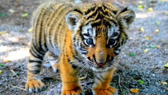 china revierte prohibicion de legalizacion de productos de tigre 5