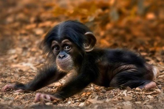 la crisis furtiva de los chimpances en africa 1