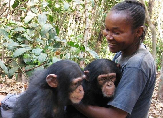 la crisis furtiva de los chimpances en africa 3