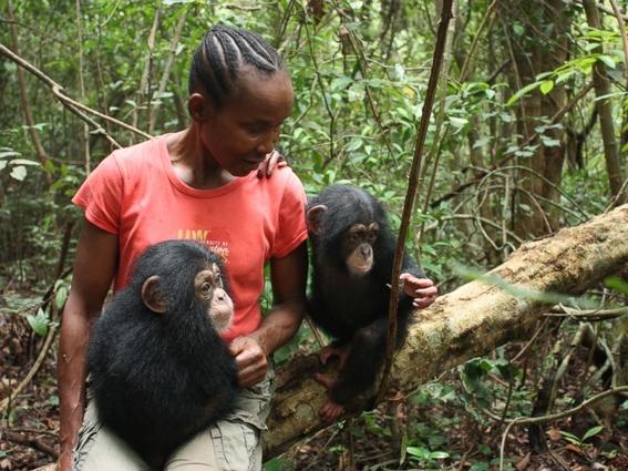 la crisis furtiva de los chimpances en africa 4
