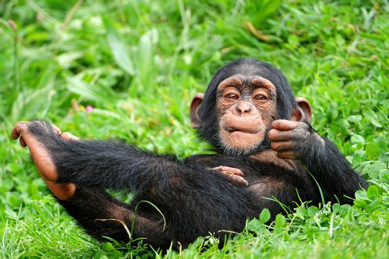 la crisis furtiva de los chimpances en africa 5