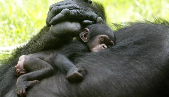 la crisis furtiva de los chimpances en africa 2