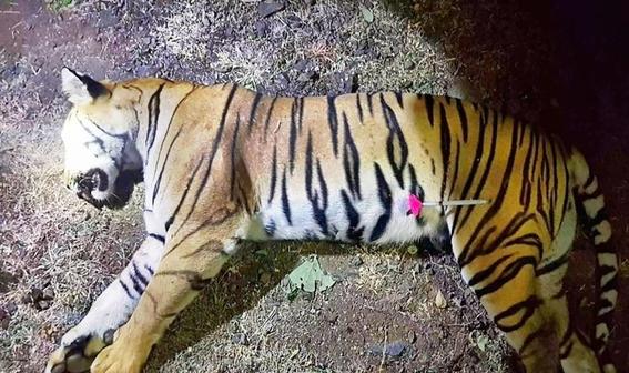 asesinan a una segunda tigresa en india en dos dias 1