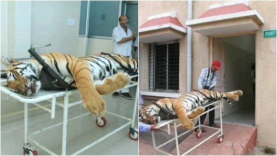 asesinan a una segunda tigresa en india en dos dias 2