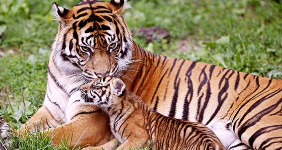 asesinan a una segunda tigresa en india en dos dias 3