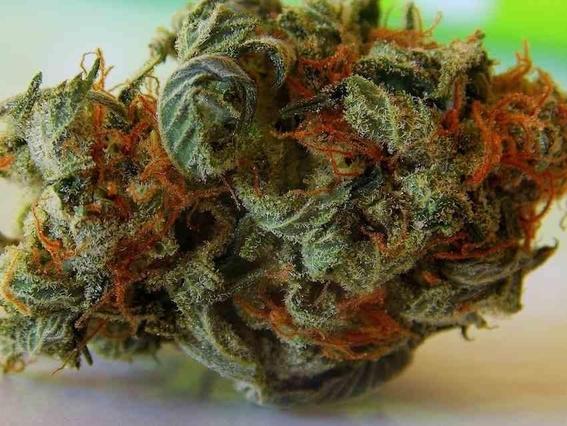 lineamientos de control sanitario de cannabis 3