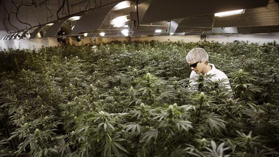 morena propuesta legalizacion produccion consumo de marihuana 3