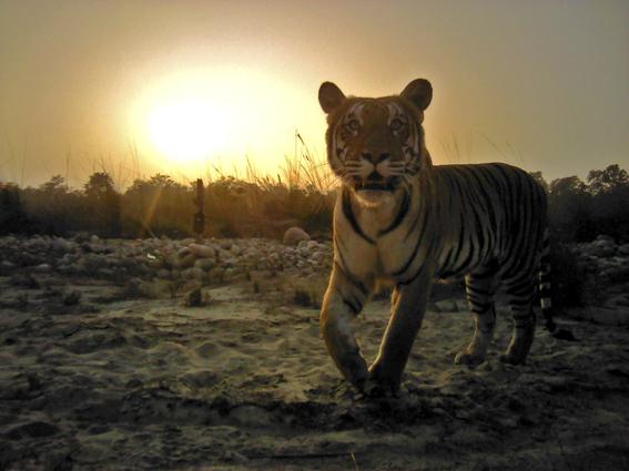 nepal imagenes revelan crecimiento poblacion de tigres 1