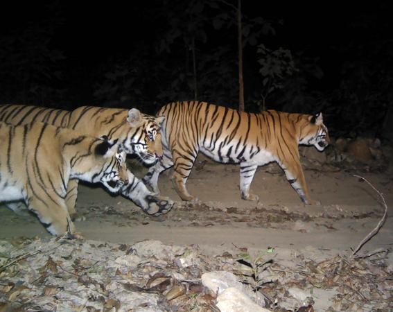 nepal imagenes revelan crecimiento poblacion de tigres 2