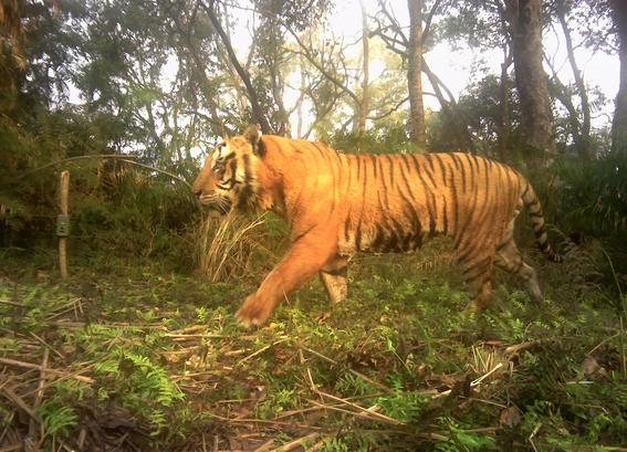 nepal imagenes revelan crecimiento poblacion de tigres 3