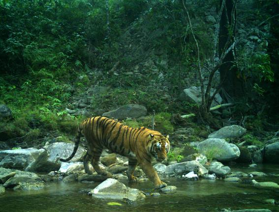nepal imagenes revelan crecimiento poblacion de tigres 4