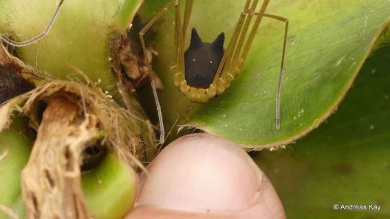 fotografian una arana con cabeza de perro en ecuador 1