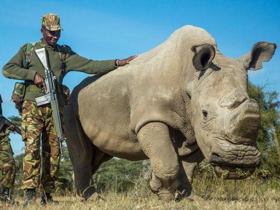 cruzaran a ultimos rinocerontes blancos del norte para salvarlos 1