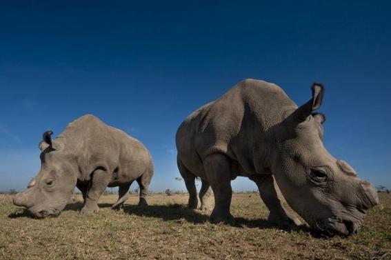 cruzaran a ultimos rinocerontes blancos del norte para salvarlos 2