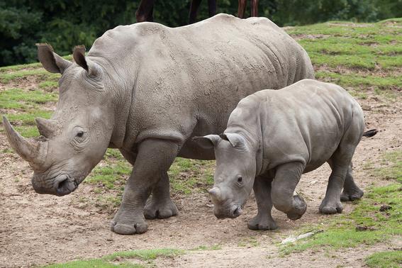cruzaran a ultimos rinocerontes blancos del norte para salvarlos 3