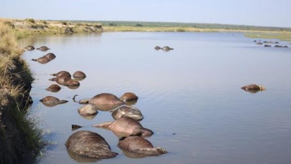 encuentran bufalos ahogados en rio chobe entre bostsuana y namibia 1