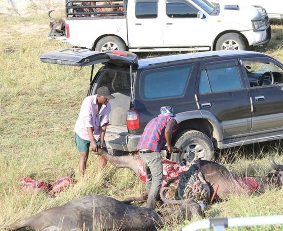 encuentran bufalos ahogados en rio chobe entre bostsuana y namibia 4