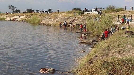 encuentran bufalos ahogados en rio chobe entre bostsuana y namibia 5