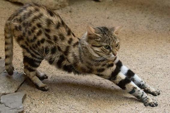 gato patinegro esta en peligro de extinguirse 1