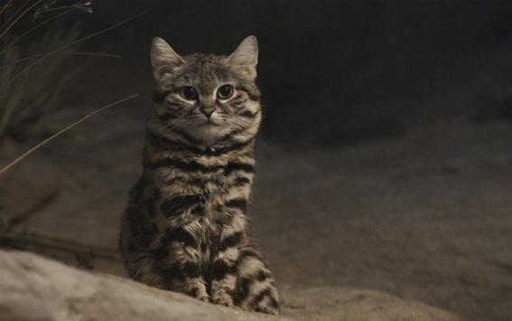 gato patinegro esta en peligro de extinguirse 3