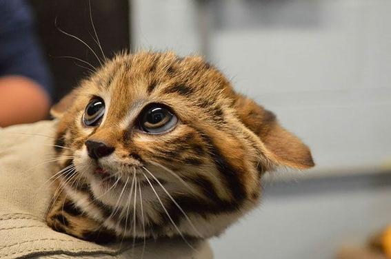gato patinegro esta en peligro de extinguirse 2