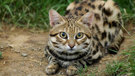 gato patinegro esta en peligro de extinguirse 4