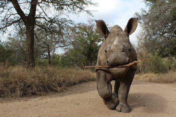 china mantendra prohibicion de comercio de productos de tigre y rinoceronte 1
