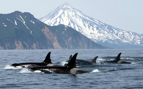 encuentran ballenas encerradas en jaulas en rusia 3