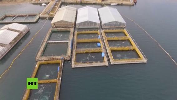 encuentran ballenas encerradas en jaulas en rusia 2