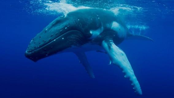 aumentan las poblaciones de ballenas y gorilas de montana 2